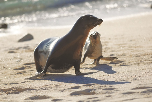 Galapagos Sea Lion with her pup