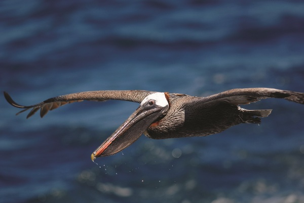 Galapagos Pelican in flight