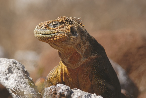 A colourful Galapagos land iguana
