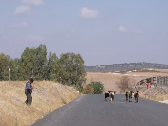 A lone shepherd tending to his goats on the road to Luz