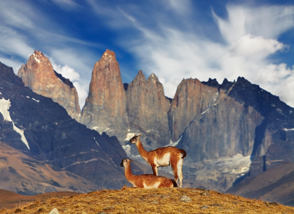 Chile - Guanaco in Torres del Paine National Park
