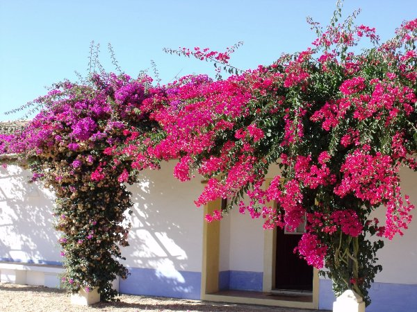 Bougainvillea against the white-washed houses of the Alentejo