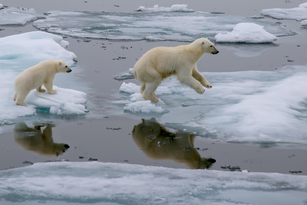 Mother polar bear and cub jumping across ice floe in Arctic ocean north of Svalbard