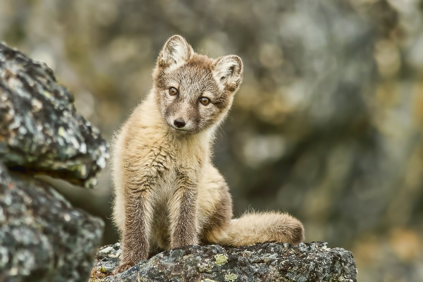 Young arctic fox looks curiously in Svalbard in summer