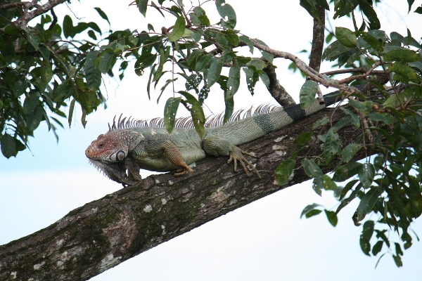 Green Iguana. These are Central America's largest lizards, and can grow up to 6 foot in length.  They prefer to live and feed in the rainforest canopy, and it is said that they can survive a fall from a tree of around 50 feet without any drama.