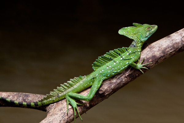 Also known as the common basilisk, this lizard has earned its unusual name thanks to its ability to run on water for as far as 20 metres when being chased by prey.