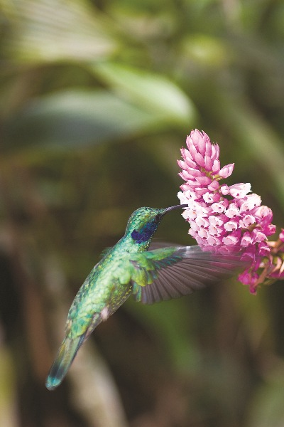 There are over 50 species of hummingbird found in Costa Rica. These energetic flyers can eat more than their body weight in nectar every day.