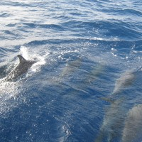 Dolphin watching in the Azores
